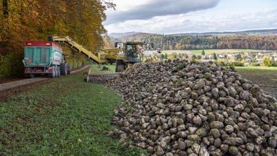 In diesem Jahr sind die Landwirte besondern lang mit Verladen und Transport der Zuckerrüben in die Fabrik beschäftigt. Das Bild zeigt eine «Rübenmaus» an der Arbeit. ((Bild: Christian Beutler/Keystone))