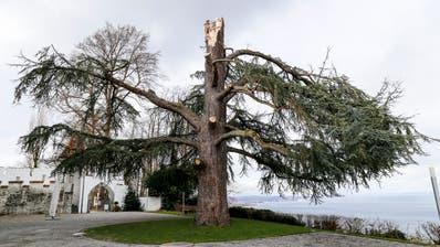 Zersplittert ragt der Stamm des einmal über 20 Meter hohen, geschützten Baums in die Luft. Ob er überlebt, wird sich im kommenden Jahr zeigen. (Bild: Rudolf Hirtl)