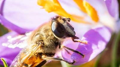 Eine Biene auf einer Krokusblüte – und das am 16. Februar. (Bild: Keystone)
