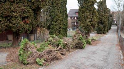 Die ersten gefällten Thuja-Bäume am Müllheimer Friedhofweg. (Bild: Andreas Taverner)