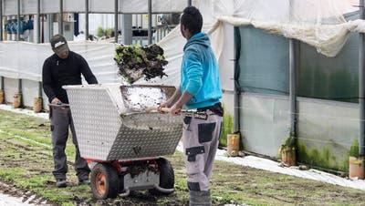 Seit Anfang Jahr gibt es auch Flüchtlingsvorlehren für landwirtschaftliche Berufe. (Bild: ky/Patrick Straub, 2016)