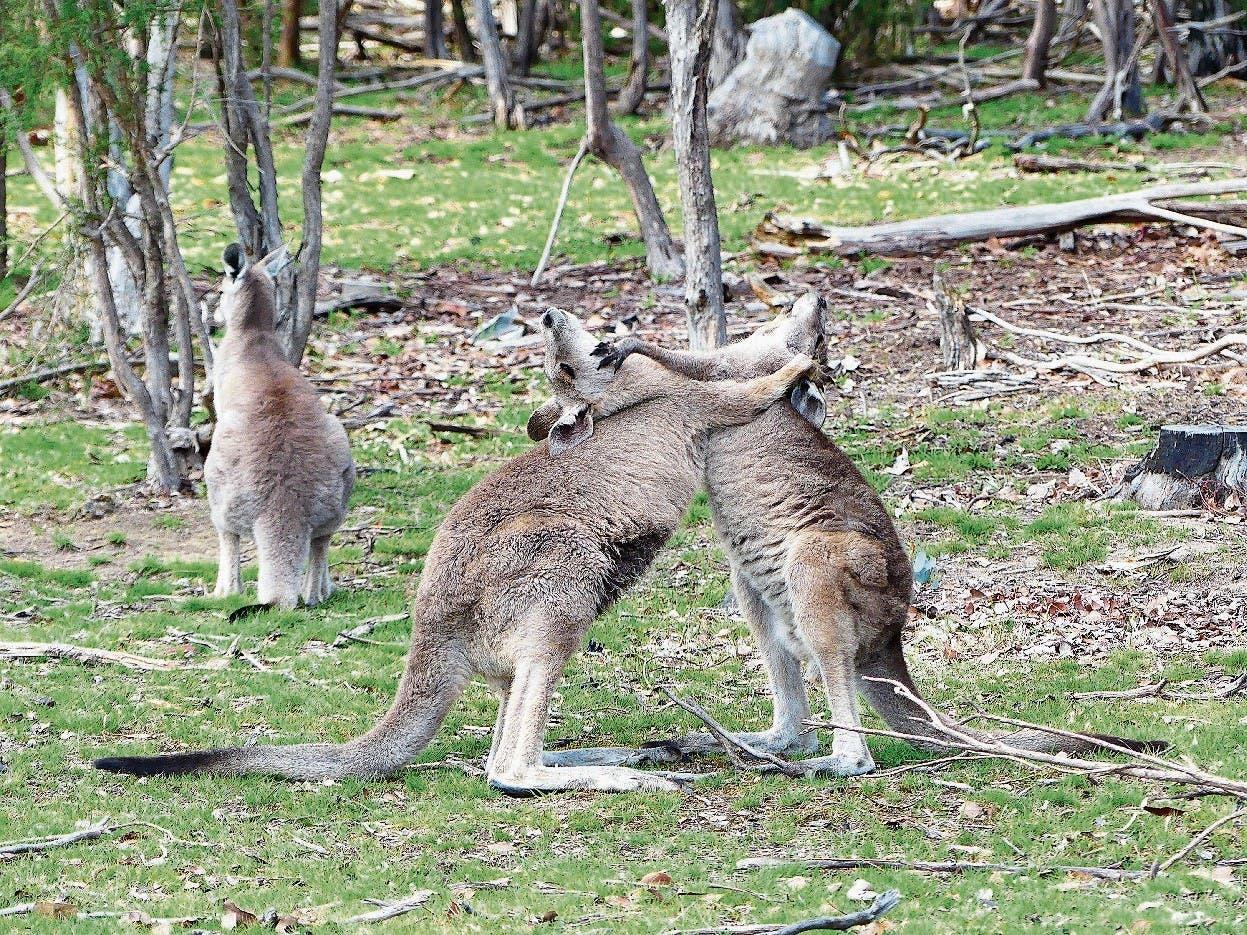 Spielende junge Kängurus, direkt vor dem Ferienhaus.