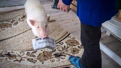 Minipig Kimi bringt Rosmarie Langjahr die Thurgauer Zeitung. Bild: Reto Martin