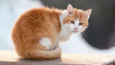 Gegen das FIV-Virus, umgangssprachlich als «Katzen-Aids» bezeichnet, gibt es keine Impfung. (Bild: Getty)
