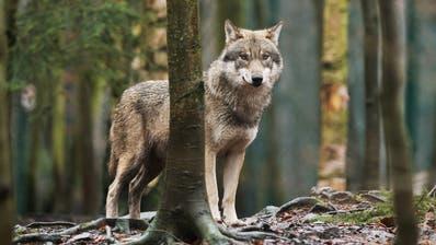 Ein europäischer Wolf im Wildpark Bruderhaus bei Winterthur. In freier Wildbahn sind die Raubtiere sehr schwierig zu fotografieren, da sie sehr menschenscheu sind. (Bild: Benjamin Manser)