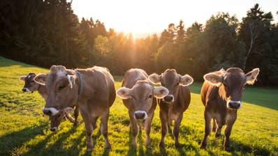 Rinder auf einer Wiese bei Sonnenuntergang. (Bild: Jil Lohse)