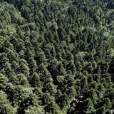 Wald auf dem Zugerberg                                                                                                                                                              (Bild: Stefan Kaiser, 1. Juli 2015)