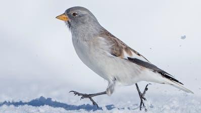 Vogelwarte erforscht Rückgang des Schneesperlings in den Alpen