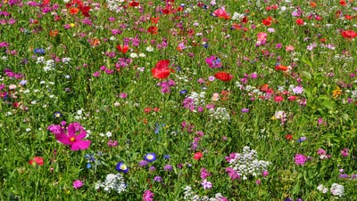 Die Gärten in Muolen sollen wieder mehr farbig blühen. (Bild: PD)