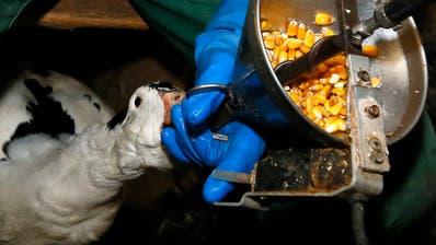 Ein Ente wird in einem französischen Betrieb gestopft. (Bild: Bob Edme, AP Photo)