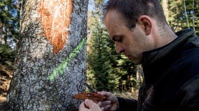 Betriebsförster Christian Siegrist findet unter der Rinde einer Weisstanne Larven von Borkenkäfern. (Bild: Nadia Schärli, Rain 22. März 2019)