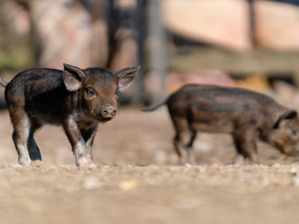 Kaum auf der Welt, entdecken sie die Welt: Im Tierpark Goldau sind Anfang Februar acht Schwarze Alpenschweine zur Welt gekommen. (Bild: Natur-und Tierpark Goldau)