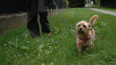 Wenn die Beschwerde ans Bundesgericht weitergezogen wird, muss dieses entscheiden, ob und wo Hunde auf dem Gebiet der Stadt Wil angeleint werden müssen. (Symbolbild: Susann Basler)