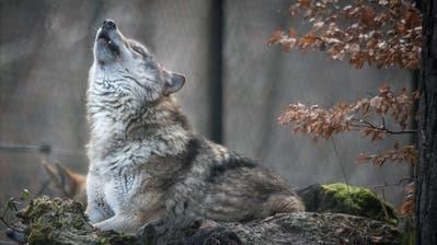 Ein Wolf im Wildpark Bruderhaus Winterthur. (Bild: Benjamin Manser)