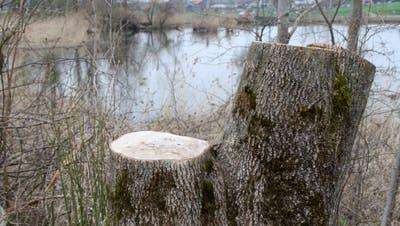 Die Holzarbeiten am Bettenauer Weiher haben Spuren hinterlassen. (Bilder:Philipp Stutz)