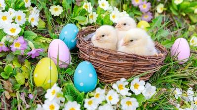 Eier und Küken dürfen auch dieses Jahr zu Ostern nicht fehlen.(Symbolbild: Philipp Schmidli, 27. März 2015)