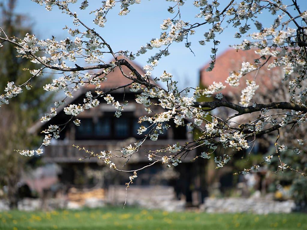 Frühe Kirschbaumblüte dank Wärme im Februar und März, in Bild in Uebeschi bei Thun im Berner Oberland. (Bild: KEYSTONE/PETER SCHNEIDER)