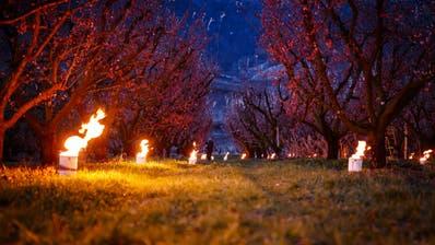 Temperatursturz versetzt Walliser Obstbauern in Alarmstimmung