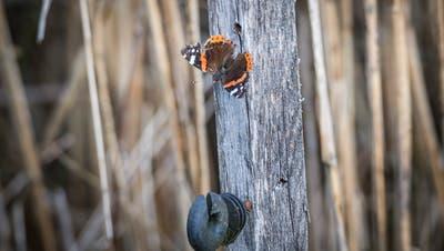 Sie gelten als Symbol für den Artenreichtum in der Schweiz: die Schmetterlinge. Bild: Andrea Stalder