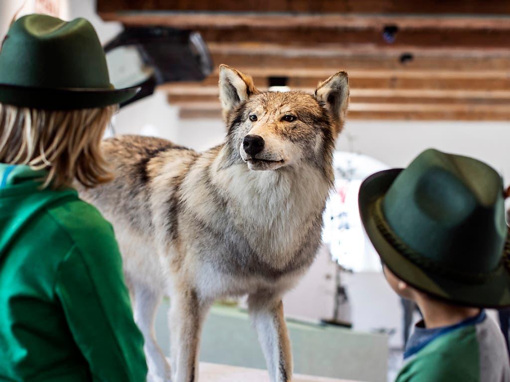 Kinder betrachten einen präparierten Wolf im Nidwaldner Museum Salzmagazin in Stans. (Bild: KEYSTONE/ALEXANDRA WEY)