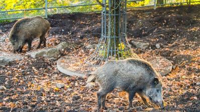 Wildschweine im Wildpark Peter und Paul St.Gallen. (Bild: Urs Bucher)