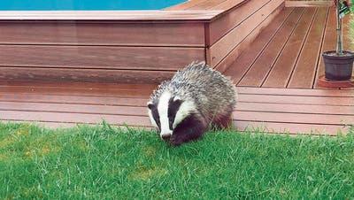 «Zuerst dachte ich, es sei ein Hund»: Eine Widnauer Familie entdeckte einen Dachs im Garten und wollte ihn verjagen – das wäre beinahe schief gegangen