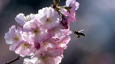 Mehr Unordnung im Garten und Park würde Bienen guttun