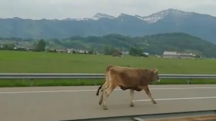 Hier flitzen Rinder über die Autobahn