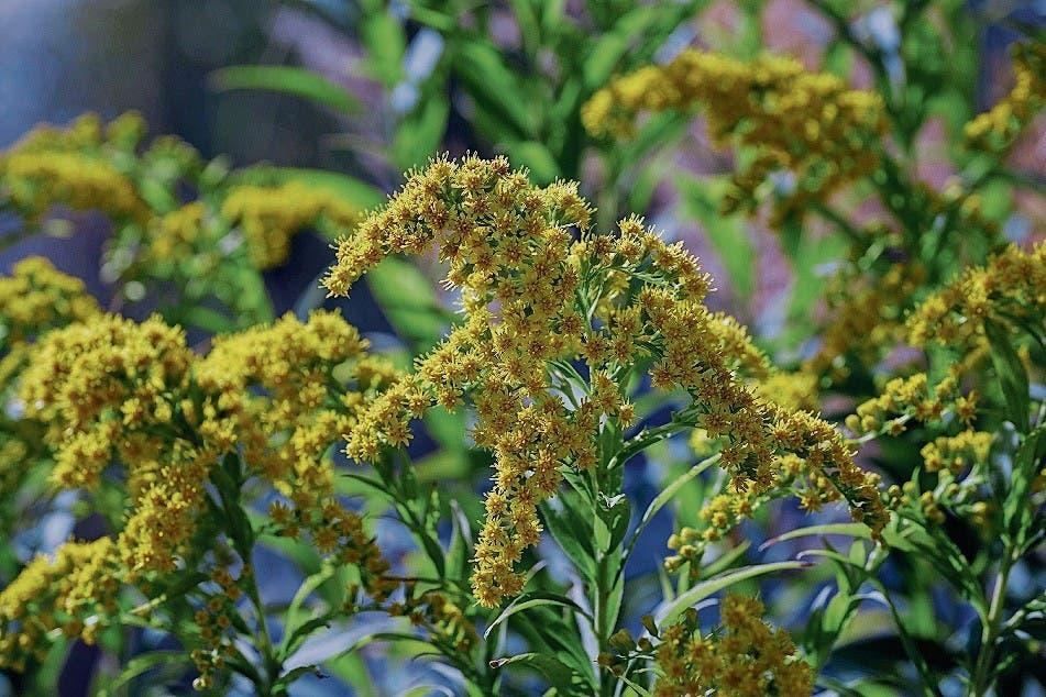 Goldruten (Solidago) sind in allen Landesteilen häufig bis sehr häufig. Als Zierpflanze aus Nordamerika eingeführt. (Bild: Getty)