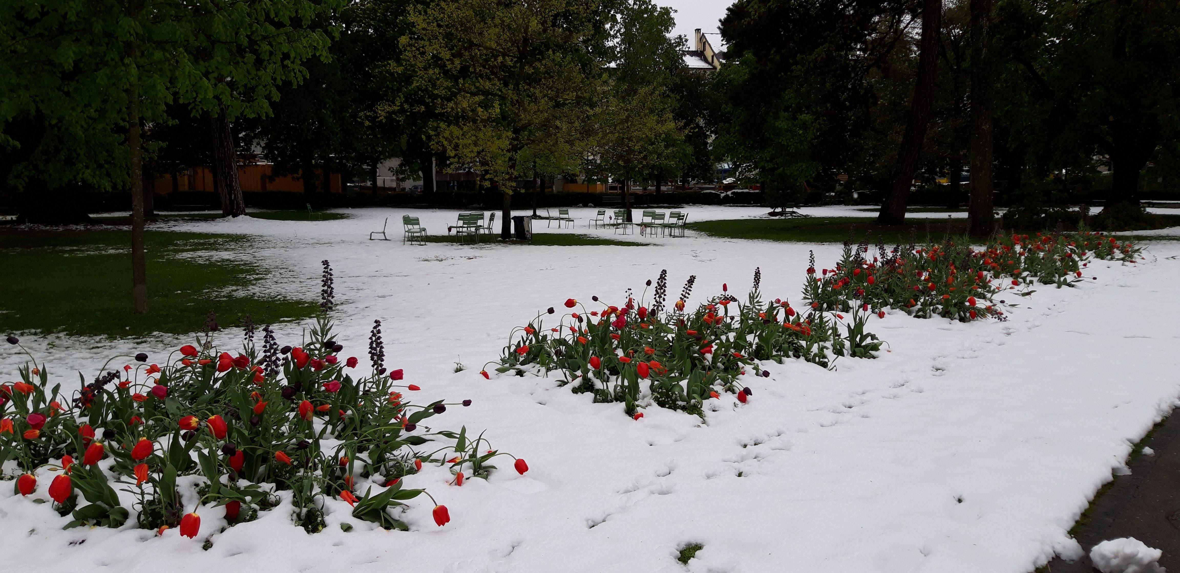 Leuchtende Blumen im schneebedeckten Stadtpark. (Bild: Klaus Businger)