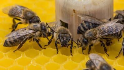 Der Roboter leitet mit Wärme und Vibrationen die Bienen im Staate dank meteorologischen Informationen aus dem Internet.(Bild: PD)