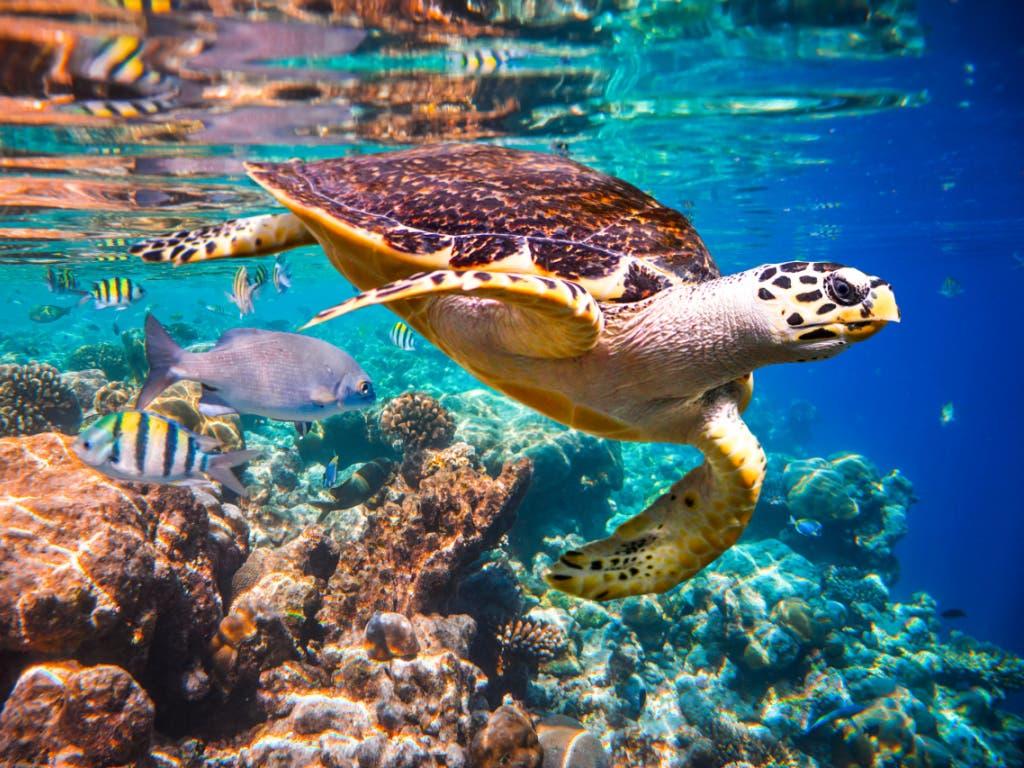 Rund ein Drittel der riffbildenden Korallen ist vom Aussterben bedroht. Von Korallenriffen sind wiederum eine Vielzahl weiterer Arten abhängig. (Bild: Andrey Armyagov/Shutterstock.com)