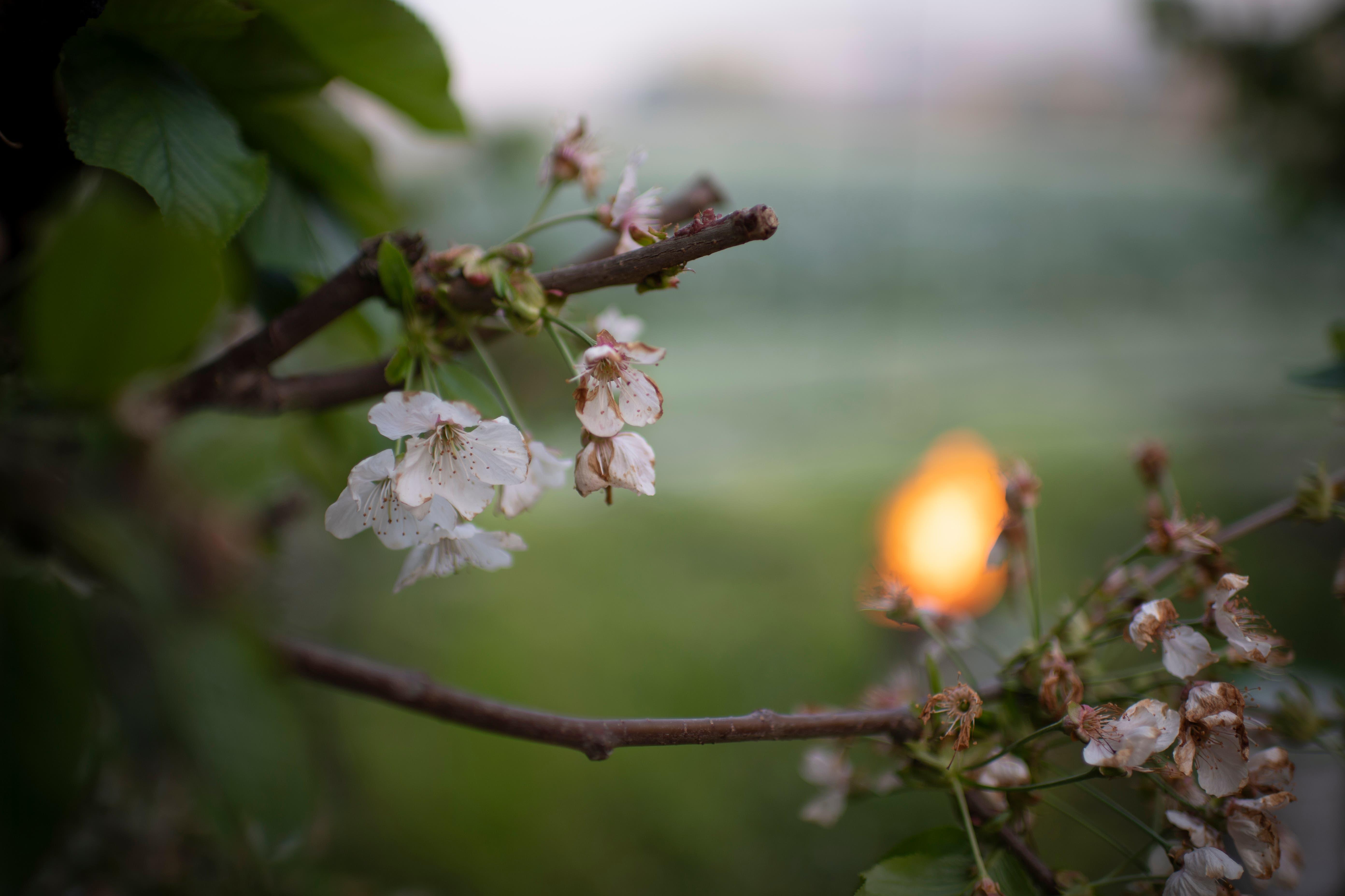 Sobald das Thermometer unter 0 Grad fällt, zünden die Bauern vorsorglich in den Pflanzungen verteilte Frostkerzen an. (Bild: Gian Ehrenzeller/Keystone, Opfershofen, 7. Mai 2019)