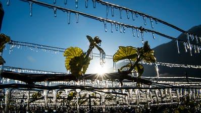 Frost zerstört Teil der Genfer Weinreben