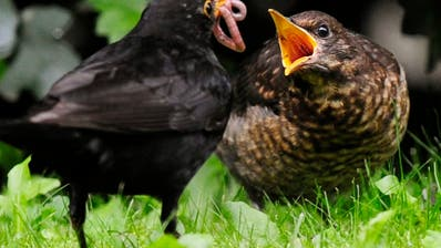 Stunde der Gartenvögel: Fast 70'000 Vögel gemeldet