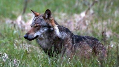 Auch Ständerat für starke Lockerung des Wolfsschutzes