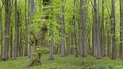 Die Rotbuchen (Fagus sylvatica) werden im Mittelland verschwinden, wenn der Klimawandel nicht gestoppt wird(Bild: KEY)