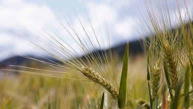 Bafu gibt grünes Licht für Feldversuche mit Gentech-Gerste