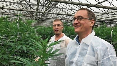 Die Galenus AG wird in Züberwangen Medizinalpflanzen kultivieren. Maik Schär (links), Betriebsleiter Galenus AG, sowie Bruno Rutishauser, Geschäftsführer der Rutishauser AG begutachten die Entwicklung der Hanfpflanzen. (Bild: PD)
