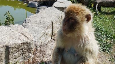 Ein Berberaffe im Plättli-Zoo Frauenfeld geniesst ein Früchteglacé. (Bild: PD)