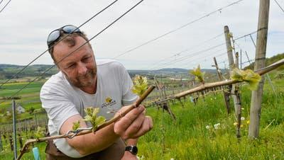 Blauburgunder -Traubenblüten an den Reben vom Weingut Sunnehaldevon Markus Müller . (Archivbild: Donato Caspari)