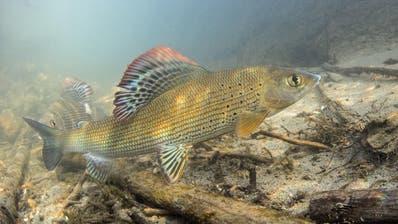 Eine undatierte Aufnahme einer Äsche, dem Schweizer Fisch des Jahres 2016. (Bild: Rainer Kühnis/Schweizerischer Fischerei-Verband)