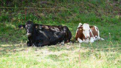 Kühe, die jetzt tagsüber draussen sind, suchen einen kühlen Schattenplatz. (Bild: Beat Lanzendorfer)