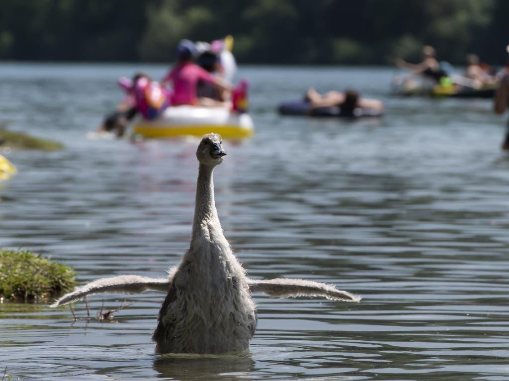 Auch Tiere scheinen das kühle Nass zu geniessen während der Hitzewelle. (Bild: KEYSTONE/ANTHONY ANEX)