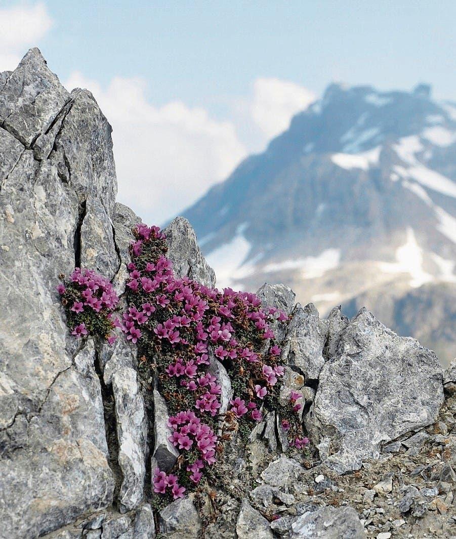 Auch in über 4000 Metern: Gegenblättriger Steinbrech. (Bild: V. Stöckli)