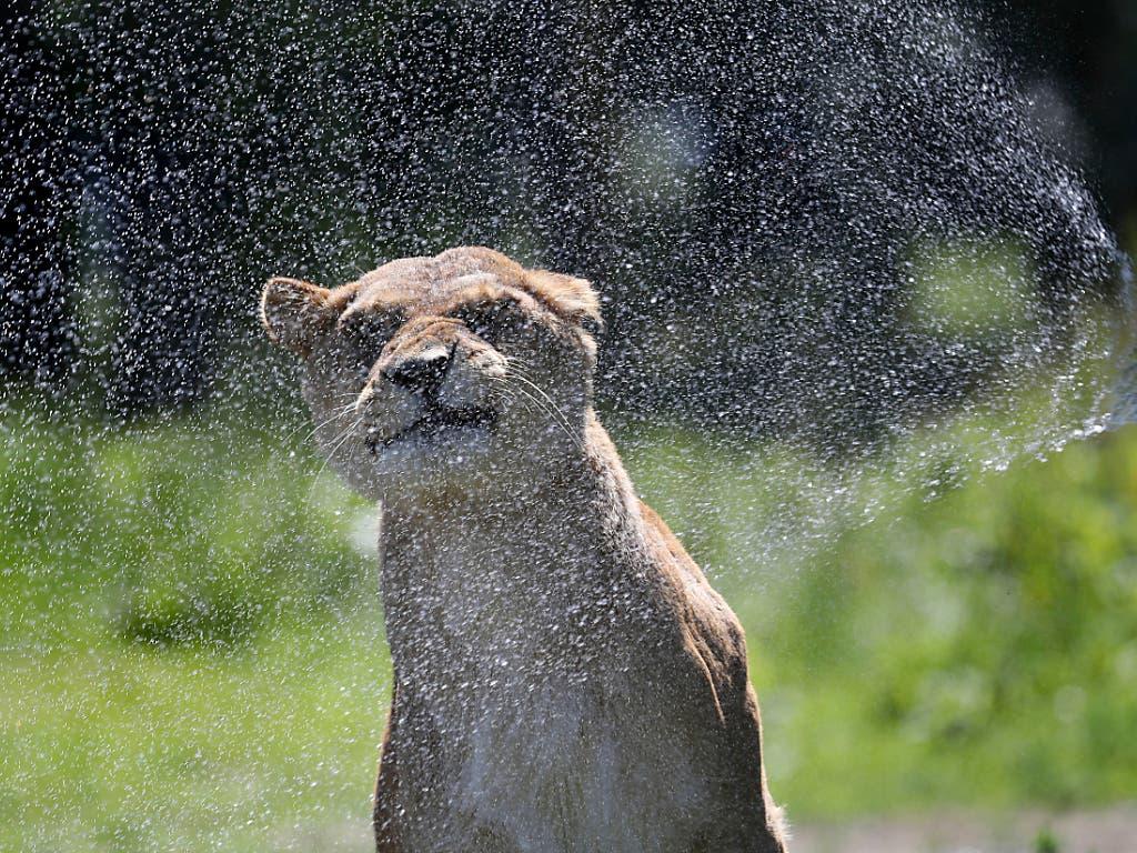 Sprinklergenuss: Eine Löwin in einem Zoo kühlt sich ab. (Bild: KEYSTONE/AP PA/ANDREW MILLIGAN)