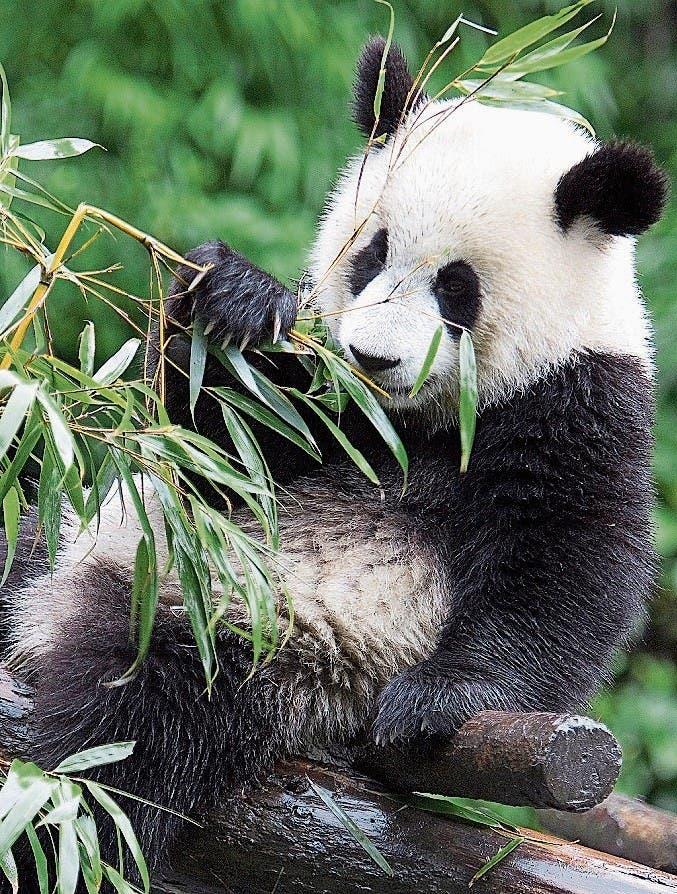 Ein Panda-Bild kommt selten allein. Die Reihen liessen sich beliebig fortsetzen. (Bilder: Getty/Keystone)