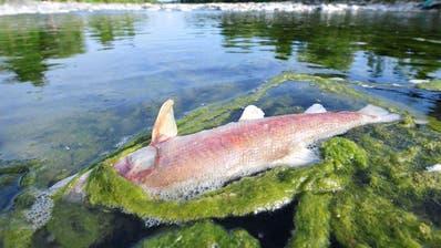 Die Hitze dürfte nicht der Grund sein für den Tod der Fische. (Symbolbild)