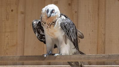 Neue Bartgeier-Zuchtstation im Tierpark Goldau