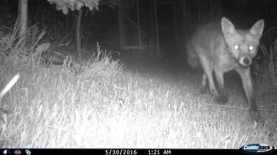 Der Fuchs schnürt durch einen Stadtsanktgaller Garten. (Bild: Stadtwildtiere - 30. Mai 2016)